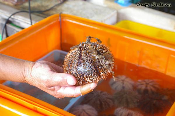由於飽撈海膽大小通殺,目前除了6月初到9月底以外,一律禁止採捕。